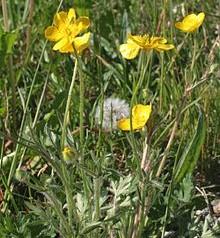 220px-Ranunculus_bulbosus_ENBLA01