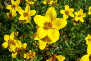 1619-Bidens-ferulifolia