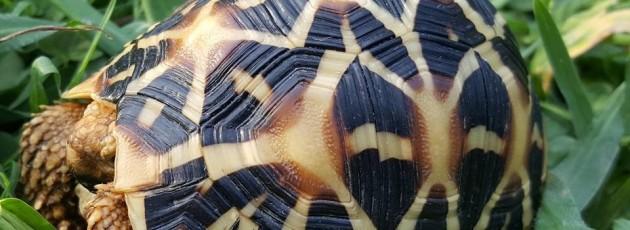 Geochelona elegans