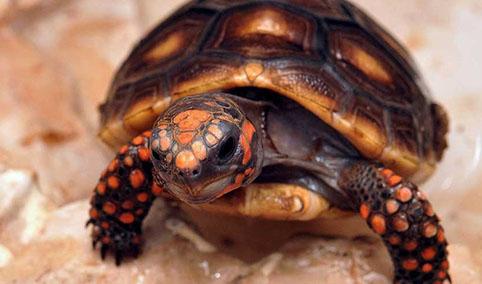 Testudo valdarno allevamento amatoriale di tartarughe e for Tartaruga orecchie rosse prezzo