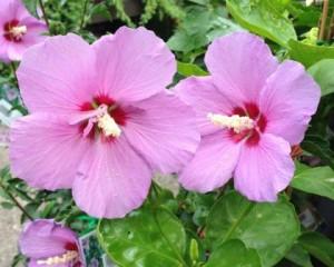 hibiscus-syriacu