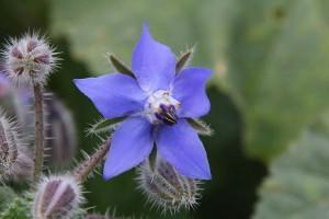 Flora_della_Sardegna_145_(4)