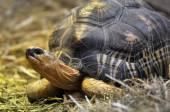 Geochelone radiata  –  Tartaruga raggiata